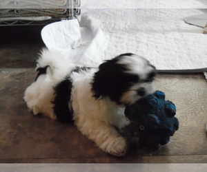 Shih Tzu Puppy for sale in KANSAS CITY, MO, USA