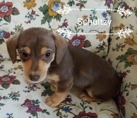 Chiweenie Puppy For Sale in CARSON CITY, NV, USA