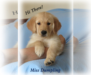 Golden Retriever Puppy for sale in MECHANICSVILLE, MD, USA