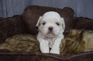 View Ad Shih Tzu Puppy For Sale California Hayward Usa