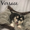 Alaskan Malamute Puppy For Sale in BELTON, Missouri,