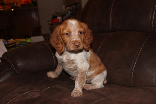 Brittany Puppy for sale in DEER TRAIL, CO, USA