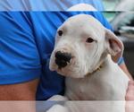 Puppy 10 Dogo Argentino