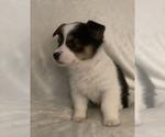 Puppy 6 Aussie-Corgi
