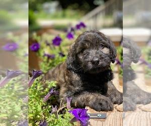 English Cream Golden Retriever-Poodle (Standard) Mix Puppy for sale in MCDONOUGH, GA, USA