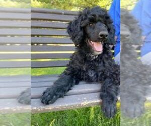 Poodle (Standard) Puppy for sale in EAU CLAIRE, WI, USA