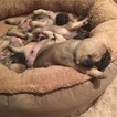 Pug Dog For Adoption in LOS ANGELES, CA