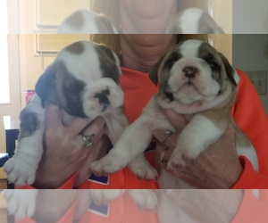 English Bulldog Puppy for sale in GERMAN VALLEY, IL, USA