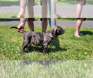 Presa Canario Puppy for sale in NEEDMORE, PA, USA
