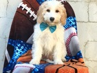 Golden Retriever-Poodle (Miniature) Mix Puppy For Sale in EAST EARL, PA, USA