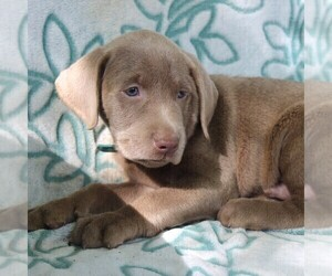 Labrador Retriever Puppy for sale in CHARLOTT HALL, MD, USA
