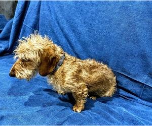 Dachshund Dog for Adoption in AGUA DULCE, California USA