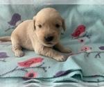 Small Photo #1 Golden Retriever Puppy For Sale in LAPEER, MI, USA