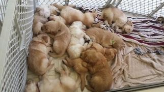 Golden Retriever Puppy For Sale in ROACHDALE, IN