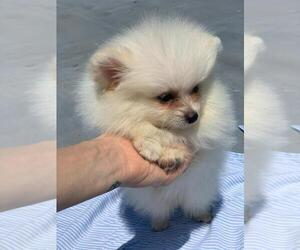 Pomeranian Puppy for Sale in BROOKLYN, New York USA