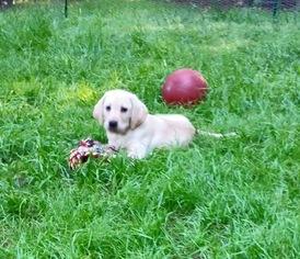 Labrador Retriever Puppy For Sale in FORSYTH, GA