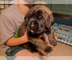 Mastiff Puppy for sale in FLORESVILLE, TX, USA