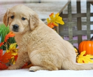 Golden Retriever Puppy for sale in BETHANY, NE, USA