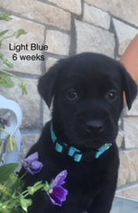 Labrador Retriever Puppy For Sale in MONUMENT, CO, USA