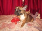French Bulldog Puppy For Sale in ELLIJAY, GA