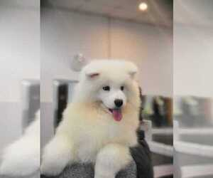 Samoyed Dog for Adoption in Nizhniy Novgorod, Nizjnij Novgorod Russia