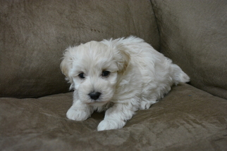 Maltipoo Puppy For Sale in JASPER, GA