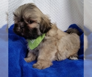 Lhasa Apso Puppy for Sale in BUFFALO, Missouri USA