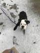 English Bulldogge Puppy For Sale in CHICAGO, IL, USA