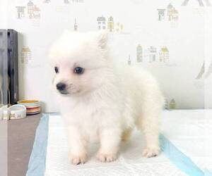 Japanese Spitz Puppy for sale in PALO ALTO, CA, USA