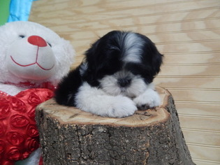 Chicago Shih Tzu NonsheddingAllergy Free Puppies