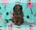 Puppy 4 Australian Shepherd-Poodle (Miniature) Mix