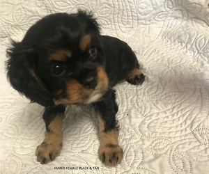 Cavalier King Charles Spaniel Puppy for Sale in WILMINGTON, North Carolina USA