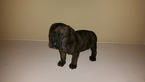 Puppy 4 Cane Corso-Rottweiler Mix