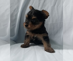 Yorkshire Terrier Puppy for Sale in SAN JOSE, California USA