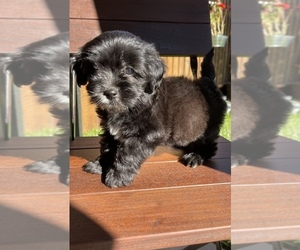 ShihPoo Puppy for sale in SAN JOSE, CA, USA