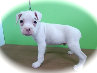 Boxer Puppy For Sale in HAMMOND, IN