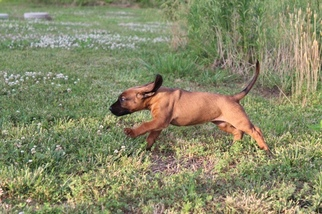 Bavarian Mountain Hound Puppy for sale in SMITHVILLE, MO, USA