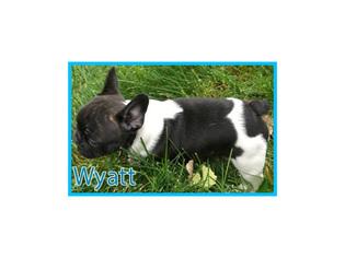 French Bulldog Puppy For Sale in CLARKSTON, UT, USA
