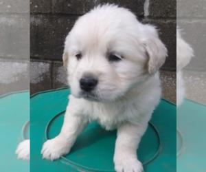 Golden Retriever Puppy for sale in JACKSON, MI, USA
