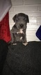 Great Dane-Unknown Mix Puppy For Sale in FONTANA, CA, USA