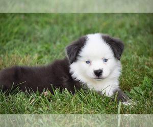 Australian Shepherd Puppy for sale in EASTON, MO, USA