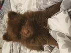 Pomeranian Puppy For Sale in NEW PORT RICHEY, FL, USA