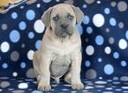 Cane Corso Puppy For Sale in MOUNT JOY, Pennsylvania,