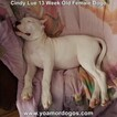 Small Photo #193 Dogo Argentino Puppy For Sale in PINEVILLE, MO, USA
