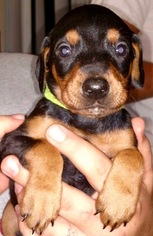 Doberman Pinscher Puppy for sale in KING GEORGE, VA, USA