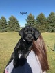 Labrador Retriever Puppy For Sale in TECUMSEH, Michigan,