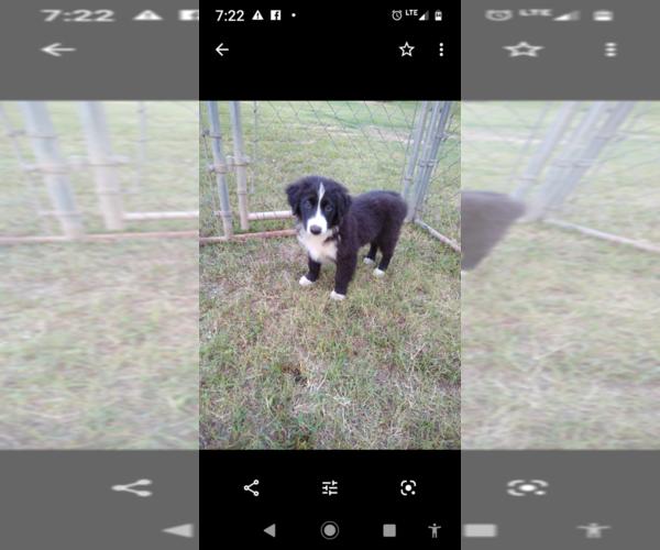 Medium Photo #5 Miniature Australian Shepherd Puppy For Sale in ORAN, MO, USA