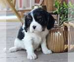 Small Photo #3 Cavalier King Charles Spaniel Puppy For Sale in LANCASTER, PA, USA
