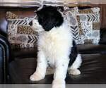 Small #4 Sheepadoodle