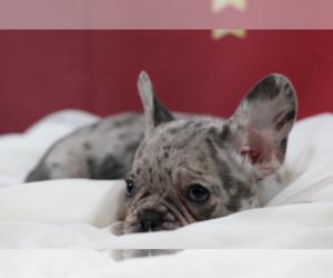 French Bulldog Dog for Adoption in BRIGHTON, Utah USA